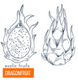 dragonfruit hand drawn vector image vector image