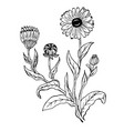 doodle calendula officinalis plants drawn contour vector image