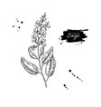 sage drawing isolated plant with flower vector image vector image