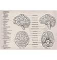 anatomical diagram of human brain medicine vector image vector image