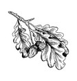 oak branch with acorns engraving vector image