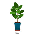 ficus plant in pot vector image vector image
