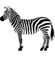 white and black animal zebra vector image vector image