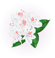 flowers white rhododendron with leaves vintage vector image
