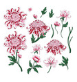 set of botanical flowers chrysanthemum vector image vector image