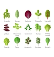 Salad ingredients Leafy vegetables flat vector image