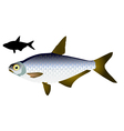 White eye fish vector image