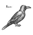 sketch raven or black crow bird vector image vector image