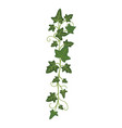 ivy branch woody evergreen decorative climbing vector image vector image