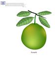 Fresh Pomelit A Famous Fruit in Israel vector image vector image