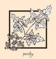 hand drawn parsley vector image
