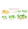melon plant growing stages from seeds seedling vector image vector image