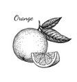 ink sketch of orange vector image vector image