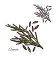 cumin seasoning plant seeds sketch icon vector image vector image