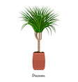 dracaena plant in pot vector image vector image