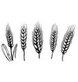 set hand drawn wheat isolated on white vector image