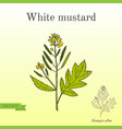 white mustard sinapis alba kitchen hand-drawn vector image vector image