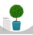 myrtus plant in pot banner vector image