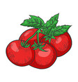 tomato color sketch engraving vector image vector image