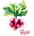 radish isolated watercolor fresh spring vector image vector image