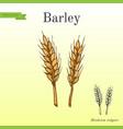 hand drawn barley ears sketch vector image vector image
