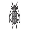 ivory marked beetle vintage vector image vector image