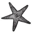 spiny sea star vintage vector image vector image
