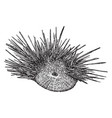 hawaiian rock urchin vintage vector image vector image