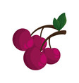 isolated sweet cherry vector image