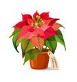 euphorbia pulcherrima plant in plastic pot with vector image vector image