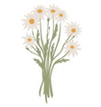 bouquet camomiles bunch white wild flowers vector image