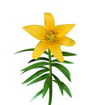 colorful yellow naturalistic lily flower on green vector image vector image