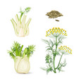 fennel flowering plant perennial herb with yellow vector image vector image
