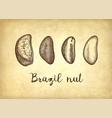 ink sketch of brazil nut vector image vector image