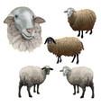 set farm sheeps vector image