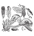 strawberry sawfly vintage vector image vector image