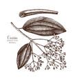 cassia tree sketch vector image vector image