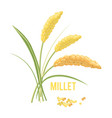 yellow millet isolated on white background vector image vector image