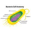 Bacteria cell structure vector image vector image