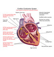 cardiac conduction system vector image vector image