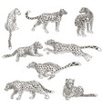 leopard animal still and in motion feline cat vector image