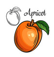 apricot drawing icon vector image vector image