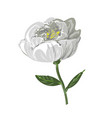 white peony flower isolated on white vector image vector image