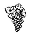 bunch grapes in engraving style isolated on vector image