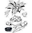 hand drawn sketch of shea nuts plant berry fruit vector image vector image