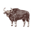 hand drawn bull gaur isolated on white background vector image
