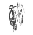 woodpecker hand drawn ink vector image