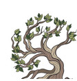 bonsai tree isolated vector image