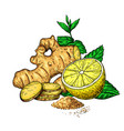 ginger lemon and mint drawing root hearb vector image vector image