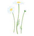chamomile flower isolated vector image vector image